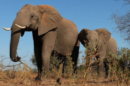 Importation of Trophy Elephants